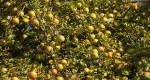Apfelsaftpressen im Tierpark
